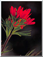 U S Fish And Wildlife Service Red Indian Paintbrush stretched canvas art