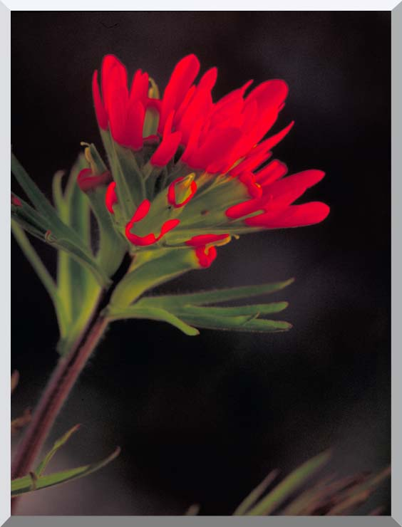 U S Fish and Wildlife Service Red Indian Paintbrush stretched canvas art print