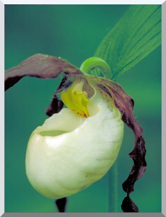 U S Fish and Wildlife Service Lady's Slipper stretched canvas art print