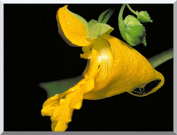 U S Fish and Wildlife Service Pale Jewelweed stretched canvas art print