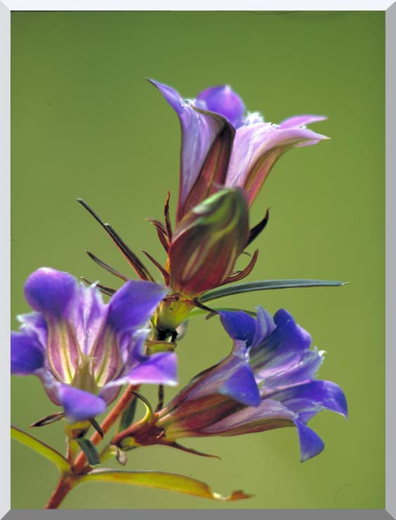U S Fish and Wildlife Service Prairie Gentian stretched canvas art print