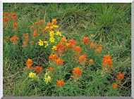 U S Fish And Wildlife Service Prairie Paintbrush stretched canvas art