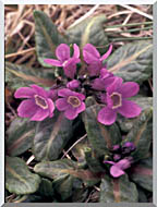 U S Fish And Wildlife Service Pribilof Wildflowers Primula stretched canvas art