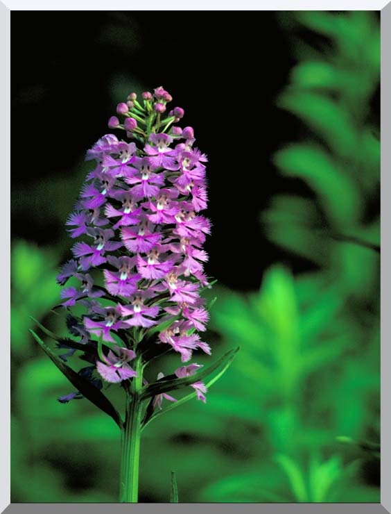 U S Fish and Wildlife Service Purple Fringed Orchid stretched canvas art print