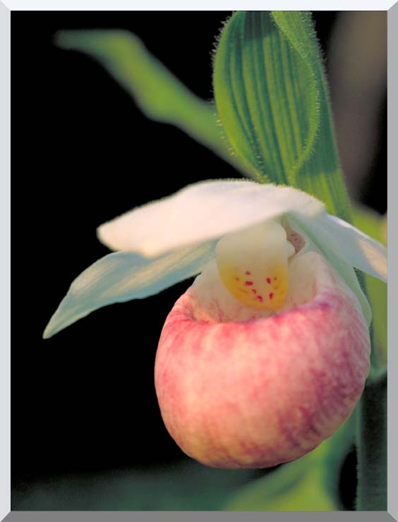 U S Fish and Wildlife Service Showy Lady's Slipper stretched canvas art print