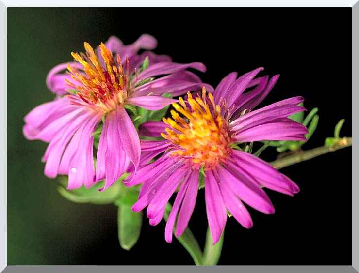 U S Fish and Wildlife Service Silky Aster stretched canvas art print