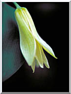 U S Fish And Wildlife Service Small Flowered Bellwort stretched canvas art