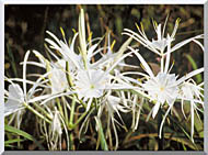 Spider Lily Stretched Canvas Art