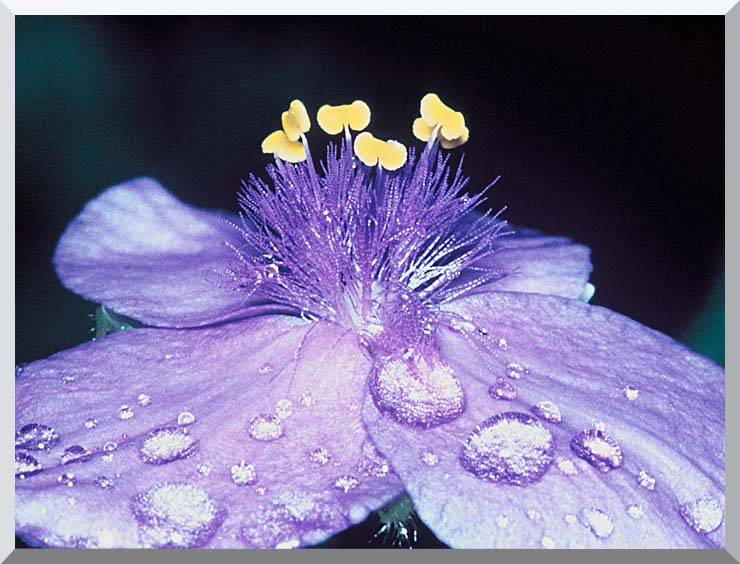 U S Fish and Wildlife Service Spider Wort Flower Art stretched canvas art print