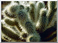 U S Fish And Wildlife Service Teddy Bear Cholla Cactus stretched canvas art
