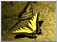 U S Fish And Wildlife Service Tiger Swallowtail Butterfly stretched canvas art
