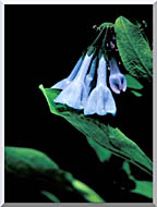 U S Fish And Wildlife Service Virginia Bluebells stretched canvas art