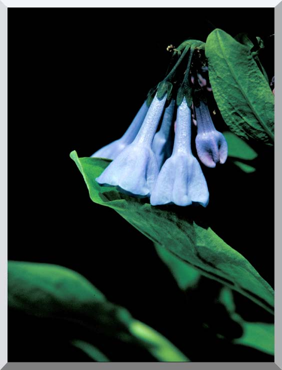 U S Fish and Wildlife Service Virginia Bluebells stretched canvas art print
