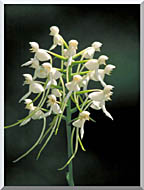 U S Fish And Wildlife Service White Fringeless Orchid stretched canvas art
