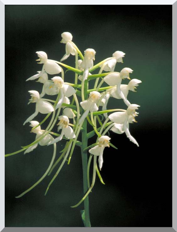 U S Fish and Wildlife Service White Fringeless Orchid stretched canvas art print