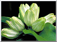 U S Fish And Wildlife Service White Gentian stretched canvas art