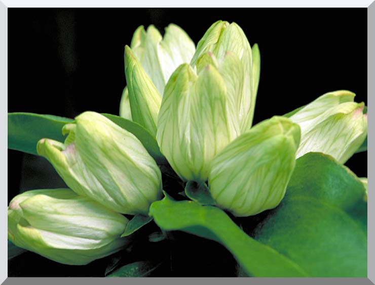 U S Fish and Wildlife Service White Gentian stretched canvas art print