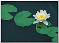U S Fish And Wildlife Service White Water Lily stretched canvas art