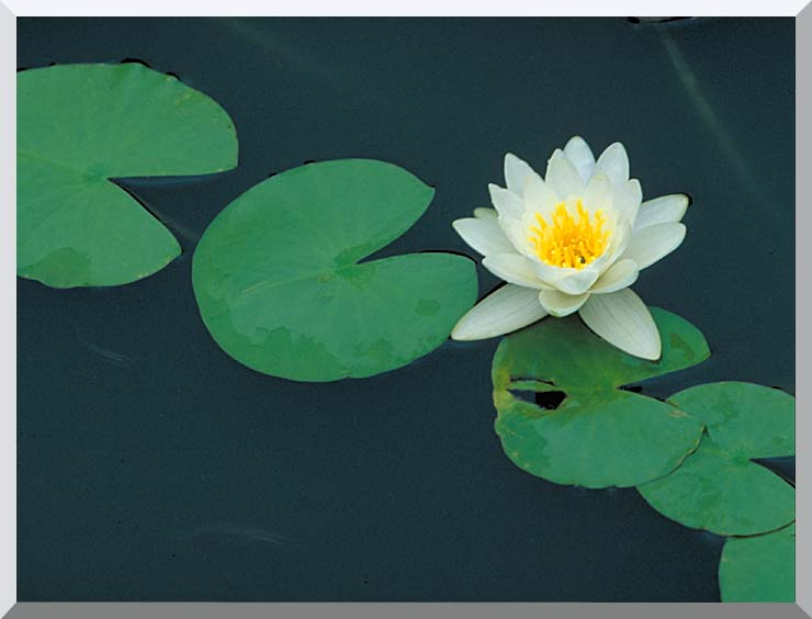 U S Fish and Wildlife Service White Water Lily stretched canvas art print