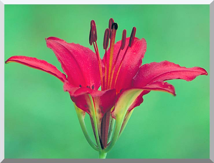U S Fish and Wildlife Service Wood Lily stretched canvas art print