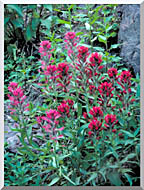 U S Fish And Wildlife Service Wyoming Paintbrush stretched canvas art