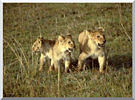 U S Fish And Wildlife Service African Lion Cubs stretched canvas art