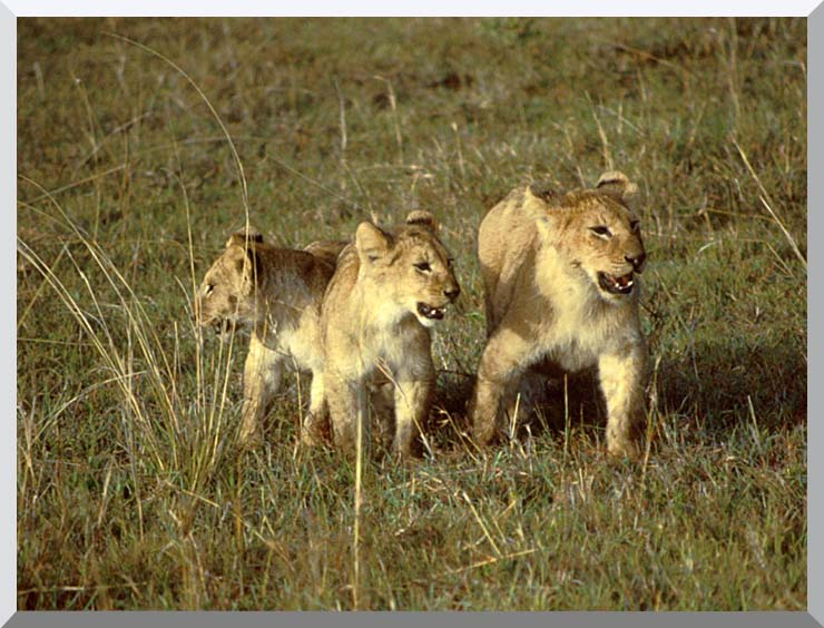U S Fish and Wildlife Service African Lion Cubs stretched canvas art print