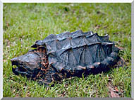 U S Fish And Wildlife Service Alligator Snapping Turtle stretched canvas art