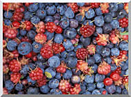 U S Fish And Wildlife Service Wild Berries stretched canvas art