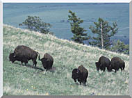 U S Fish And Wildlife Service Rocky Mountain Bison stretched canvas art