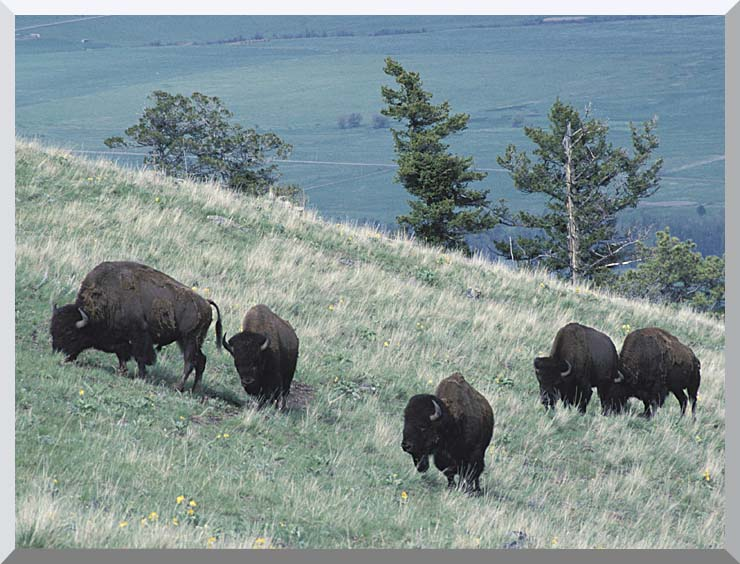 U S Fish and Wildlife Service Rocky Mountain Bison stretched canvas art print