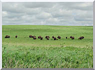 U S Fish And Wildlife Service Bison On The Range stretched canvas art