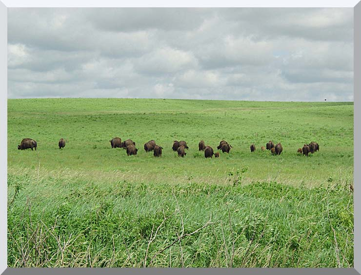 U S Fish and Wildlife Service Bison on the Range stretched canvas art print