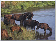U S Fish And Wildlife Service Wild Bison stretched canvas art