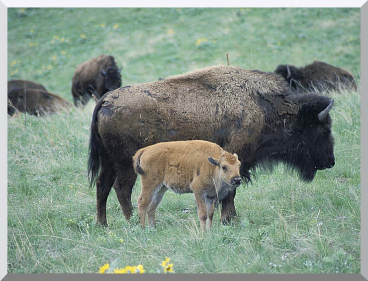U S Fish and Wildlife Service Bison Cow and Calf stretched canvas art print