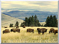U S Fish And Wildlife Service Bison Herd stretched canvas art
