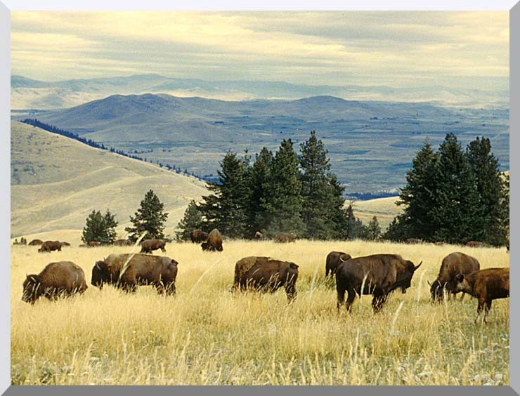 U S Fish and Wildlife Service Bison Herd stretched canvas art print