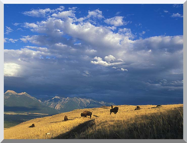 U S Fish and Wildlife Service Buffalo on the Range stretched canvas art print