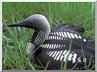U S Fish And Wildlife Service Artic Loon stretched canvas art