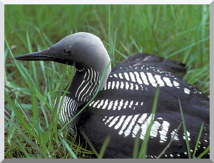 U S Fish and Wildlife Service Artic Loon stretched canvas art print
