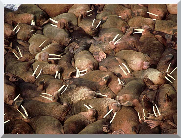 U S Fish and Wildlife Service Walrus Herd stretched canvas art print