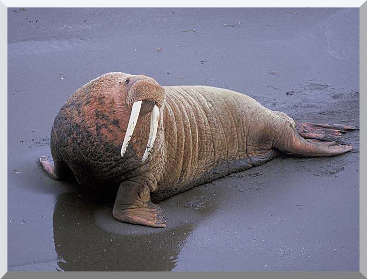 U S Fish and Wildlife Service Walrus stretched canvas art print