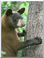 U S Fish And Wildlife Service American Black Bear stretched canvas art