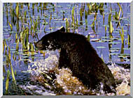 U S Fish And Wildlife Service Black Bear Cub In Pond stretched canvas art