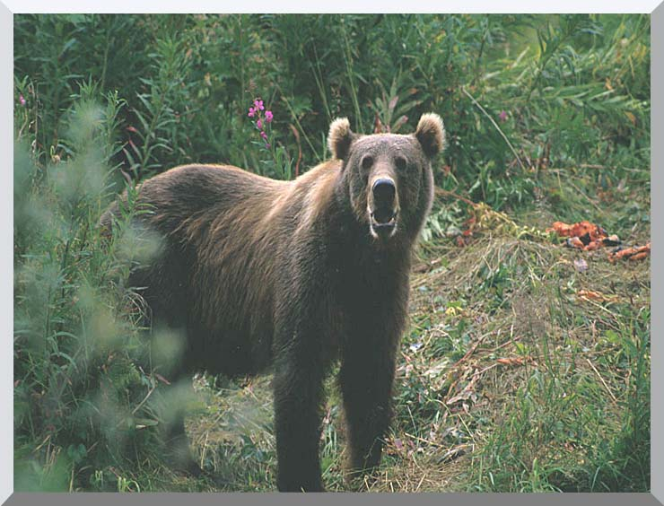 U S Fish and Wildlife Service Kodiak Bear stretched canvas art print