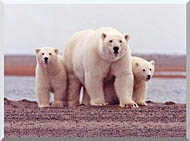 U S Fish And Wildlife Service Polar Bear Female With Cubs stretched canvas art