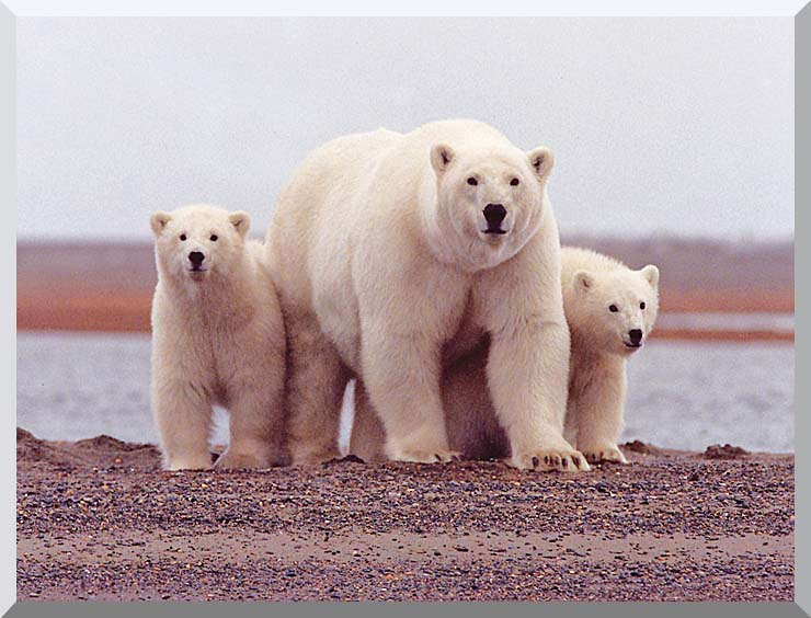 U S Fish and Wildlife Service Polar Bear Female with Cubs stretched canvas art print