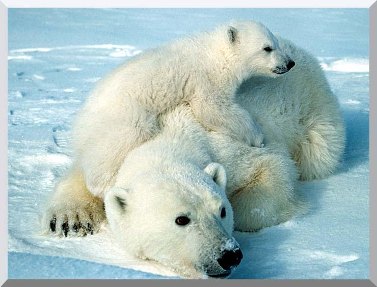 U S Fish and Wildlife Service Polar Bear with Cub stretched canvas art print