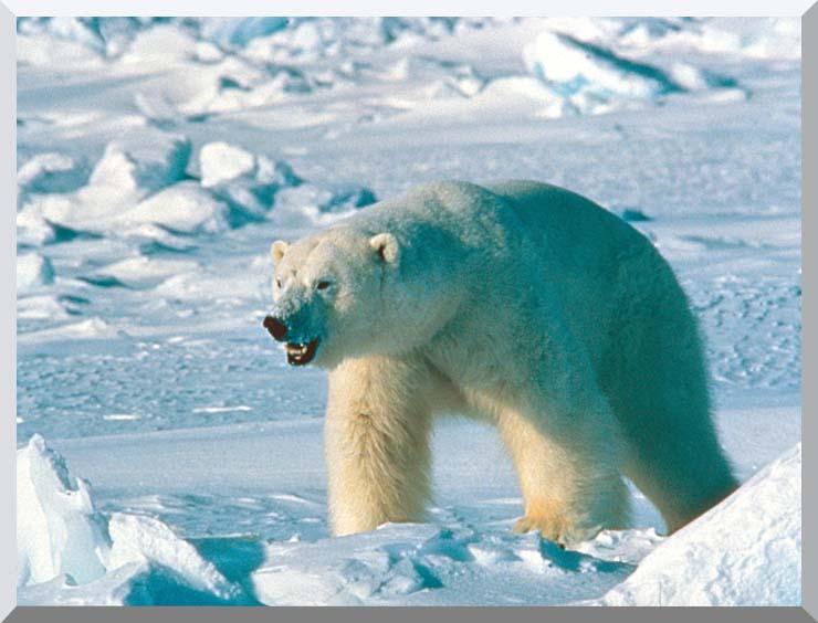 U S Fish and Wildlife Service Artic Polar Bear stretched canvas art print