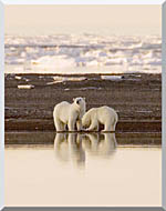 U S Fish And Wildlife Service Polar Bears stretched canvas art